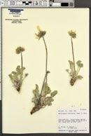 Enceliopsis nudicaulis image