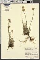 Erigeron argentatus image
