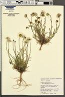 Erigeron concinnus var. concinnus image