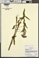 Erigeron speciosus var. mollis image