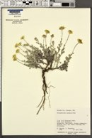 Eriophyllum lanosum image