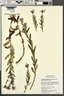 Eucephalus ledophyllus image