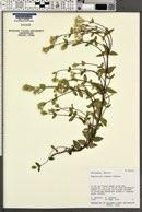 Ageratina lemmonii image
