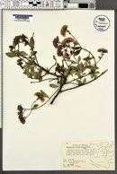 Ageratina calaminthifolia image
