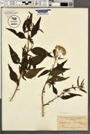 Image of Eupatorium christieanum