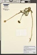 Gaillardia pulchella image