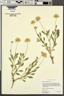Gaillardia spathulata image