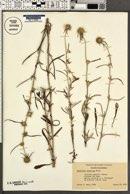 Image of Gnaphalium japonicum