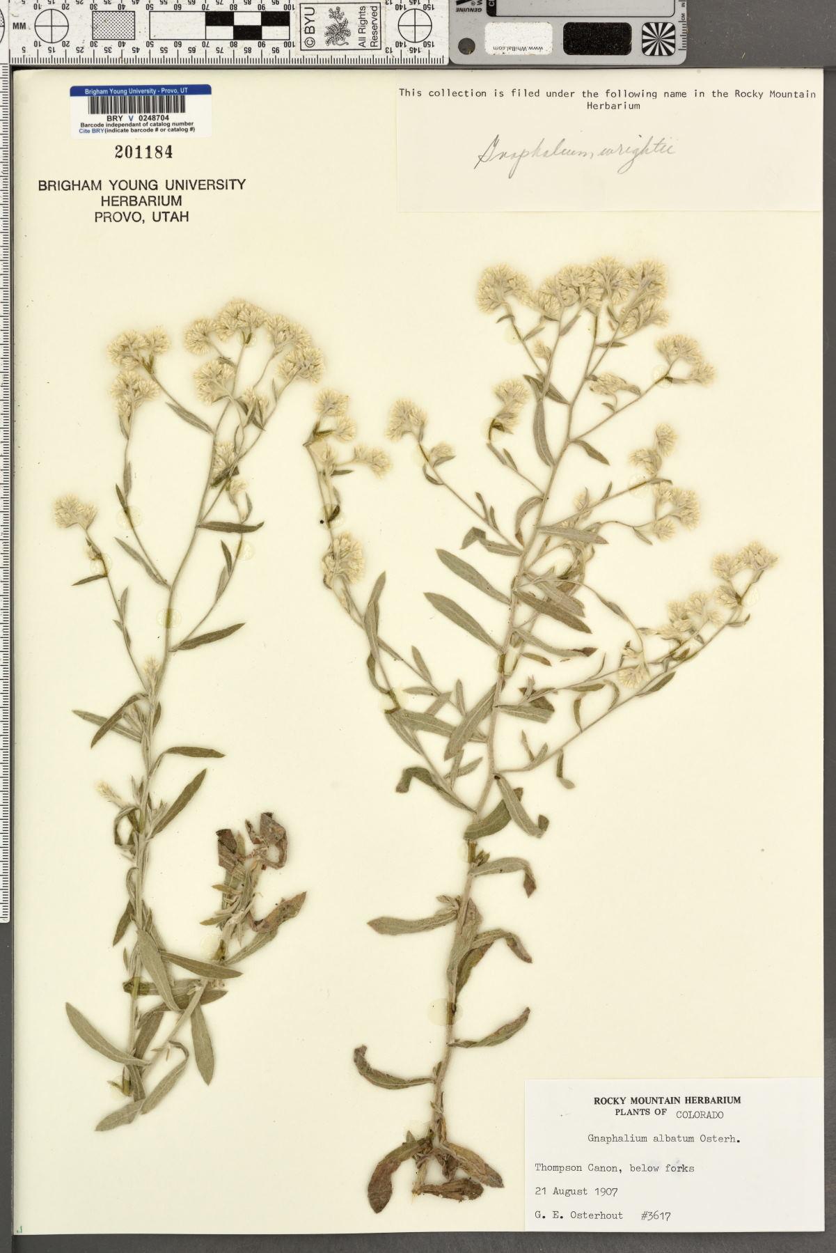 Gnaphalium albatum image