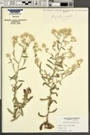 Image of Gnaphalium albatum