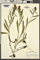 Gnaphalium norvegicum image