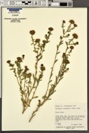 Image of Grindelia columbiana