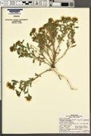 Grindelia squarrosa var. squarrosa image