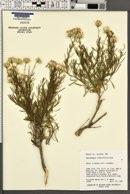 Ericameria linearifolia image