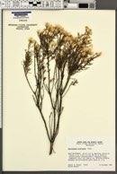 Ericameria brachylepis image