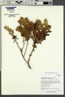 Hazardia squarrosa var. grindelioides image
