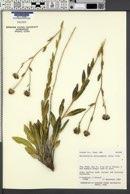 Helianthella microcephala image