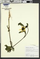 Helianthus annuus image