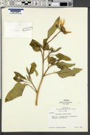 Helianthus anomalus image