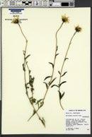 Helianthus cusickii image