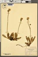 Hieracium × flagellare image