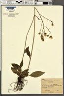 Hieracium maculatum image