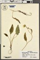 Image of Hieracium humile