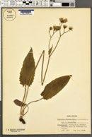 Image of Hieracium aterrimum