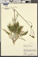 Hymenopappus filifolius image