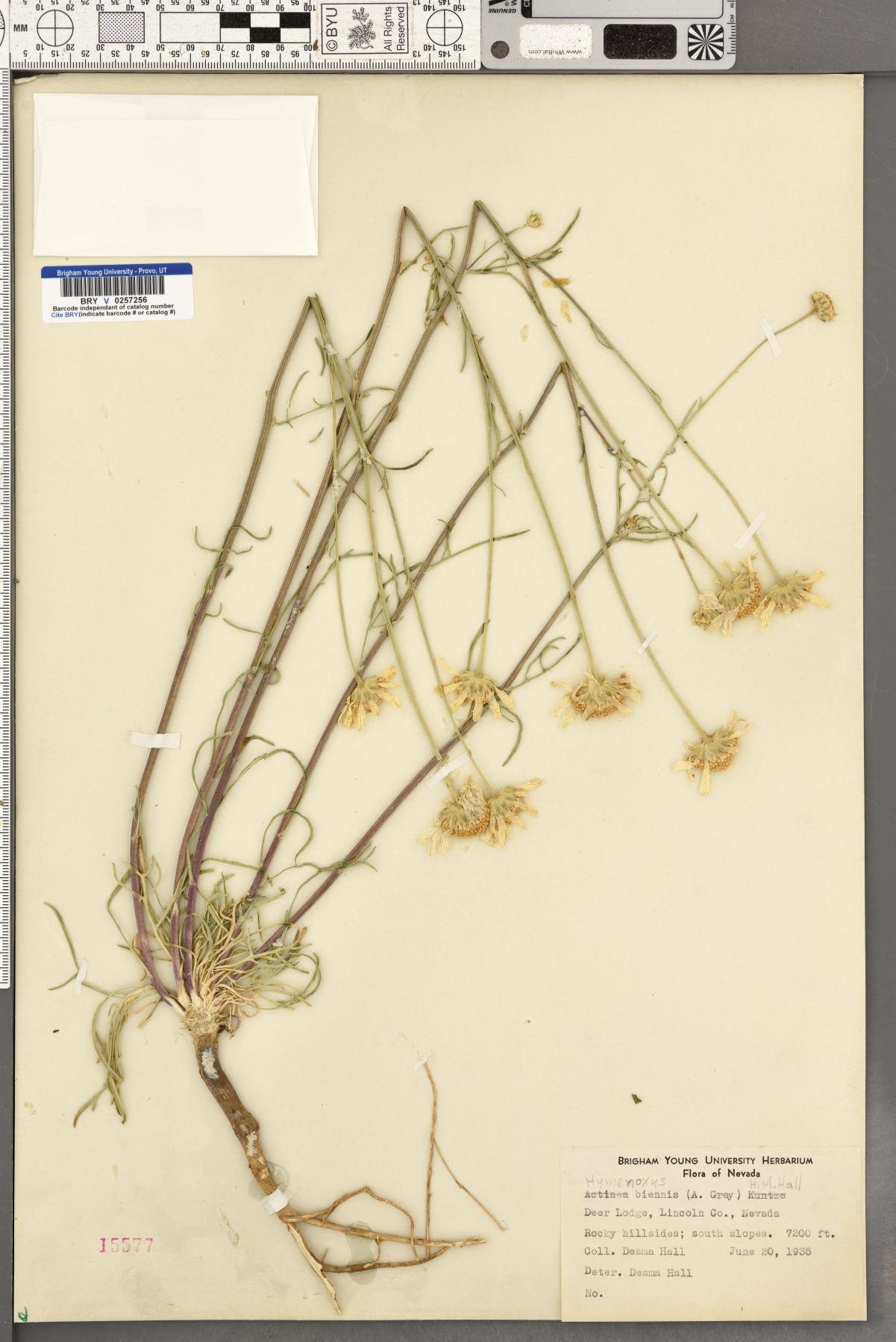 Hymenoxys biennis image