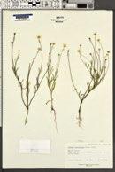 Image of Actinea linearifolia