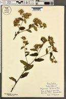 Image of Inula bifrons