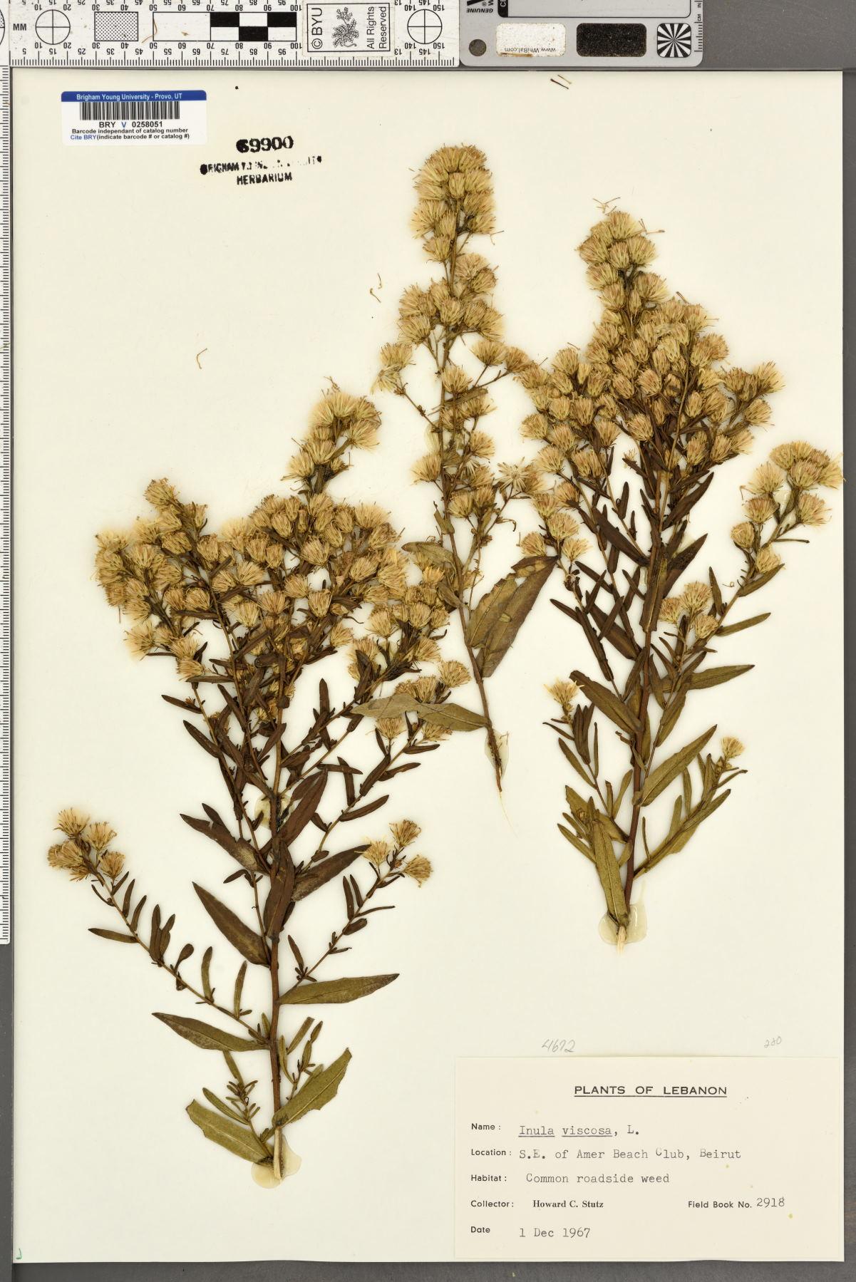 Inula viscosa image