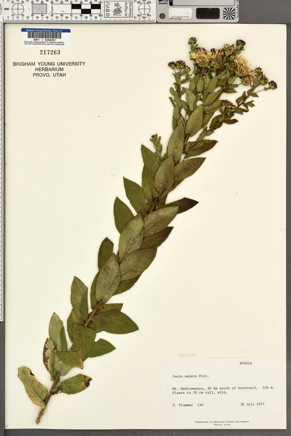 Inula aspera image