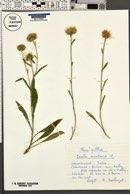 Image of Inula montana