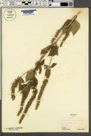 Iva ciliata image