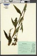 Image of Lactuca sibirica