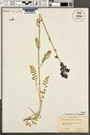 Polemonium caeruleum var. pterospermum image