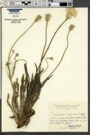 Image of Leontodon asperrimus