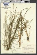 Image of Lygodesmia tenuifolia