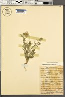 Dieteria canescens image