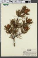 Pinus contorta image