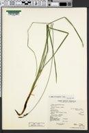 Carex prionophylla image
