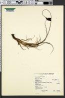 Carex chalciolepis image