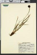 Carex pelocarpa image
