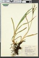 Carex nebraskensis image