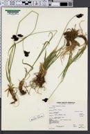 Carex paysonis image