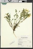 Astragalus beckwithii var. beckwithii image