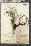 Image of Astragalus terminalis