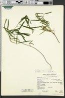 Image of Lathyrus bijugatus
